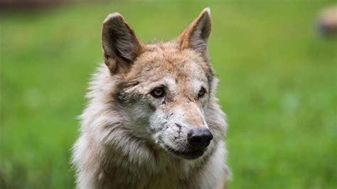 wolf in bad berleburg gesichtet nordrhein westfalen - Wolf Möbel Lemgo