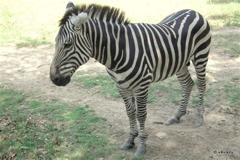 Animal Indian 03 indian animals zebra 171 wallpaper tadka
