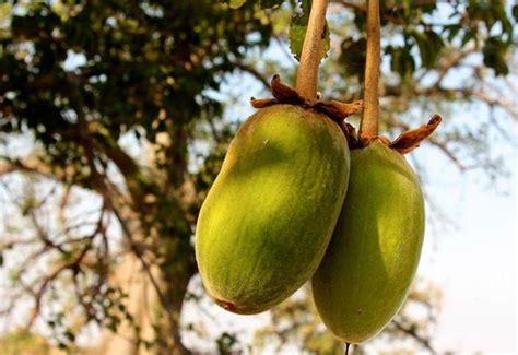 baobab fruit baobab seed is baobab benefits the top 10 benefits of baobab powder