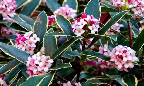odora aureomarginata fragrant hardy evergreen shrub - Hardy Flowering Evergreen Shrubs