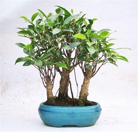 albero da interno bonsai ficus retusa bosco compra bonsai ficus