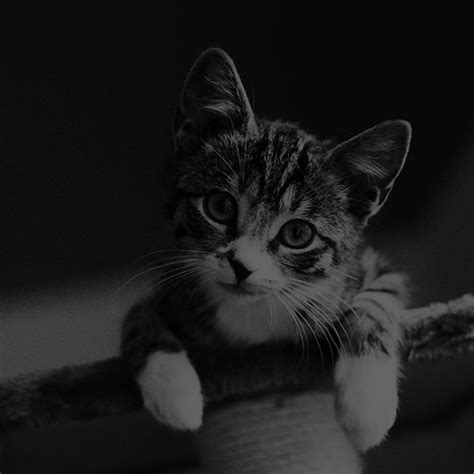 cat wallpaper macbook mi36 cute cat look dark bw animal love nature