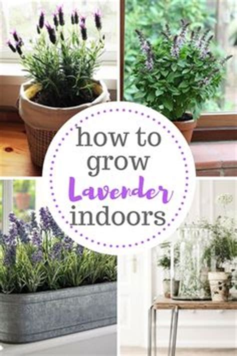 how to care for potted lavender more french lavender and