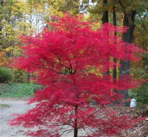 acer palmatum and plants on pinterest