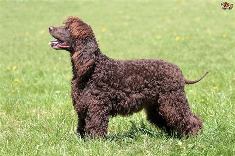 water spaniel puppies for sale water spaniel breed information buying advice photos and facts pets4homes