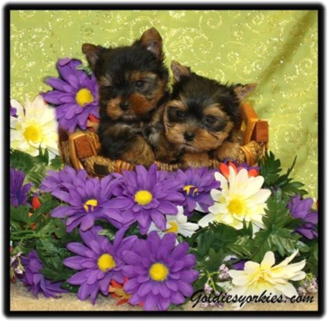 goldies yorkies goldie s yorkies teacup poodles teacup yorkie puppies for sale terrier
