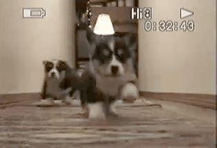 corgi puppy gif animated gif