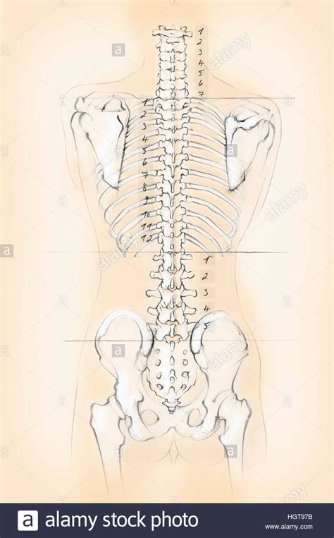 diagram of human spine diagram of the human spine with numbers for cervical