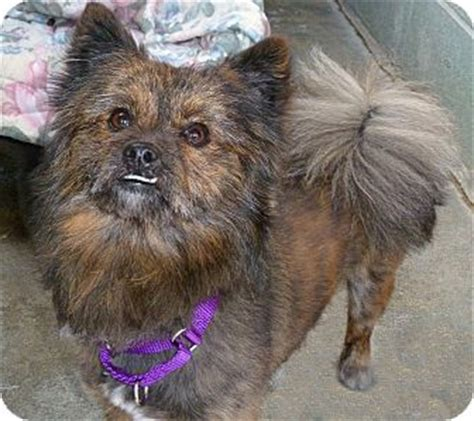 pomeranian rescue ny wolfie adopted ny pomeranian terrier unknown type small mix