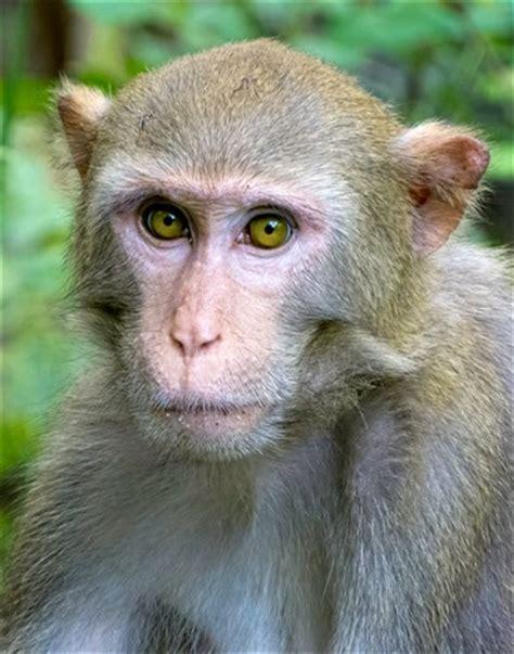 direct gaze: silver river rhesus macaque: nemesix