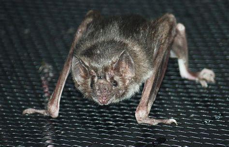 vampire bat desmodontinae animals   animals