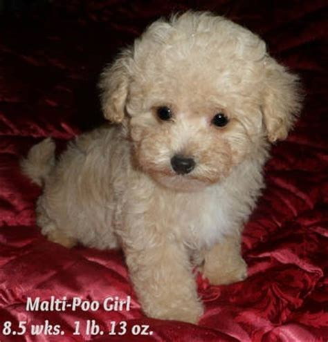 Maltipoo Shed by 17 Best Images About Hypoallergenic Breeds On