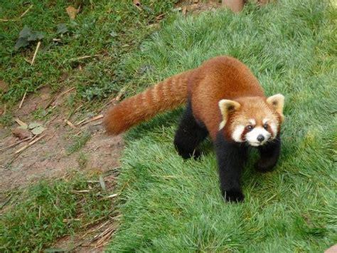 that looks like a panda chengdu panda looks like a raccoon to us photo