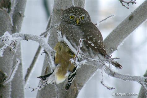 northern pygmy owl glaucidium gnoma in explore raptors