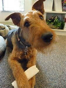 winter airedale haircut cute airedale terrier puppy photo and wallpaper beautiful