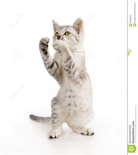 Gray Striped Tabby Cat Kitten Stock Photo   Image: 34860536