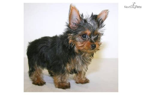 what age is a yorkie puppy grown terrier yorkie puppy for sale near columbus ohio bbcadf0a 4411
