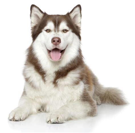 siberian husky mix puppies fabulous information about the boxer siberian husky mix breed