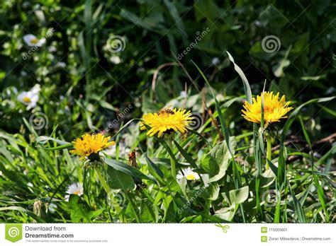 L Use Im Garten 3980 by Gelbe Blumen Im Garten Stock Photos 10 019 Images