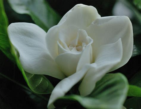 gardenia flowers gardenia flower pictures white gardenia flowers