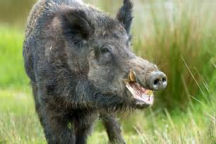 Wild boar sus scrofa against a background of long dry yellow grass