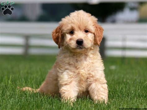 Gambler Mini Goldendoodle Puppy For Sale From Gordonville
