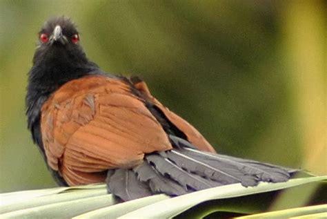 burung   carik anak wikipedia bahasa melayu