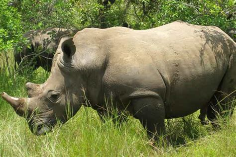 how does a live how do rhinos live facts and species how do animals live