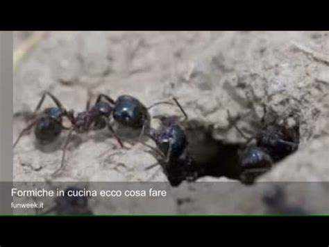 Come Combattere Le Formiche by Come Combattere Le Formiche Legno Tutto Per Casa