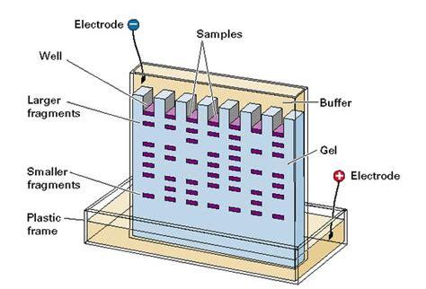 diagram of electrophoresis regentsgenetictechnology gel electrophoresis 3 4