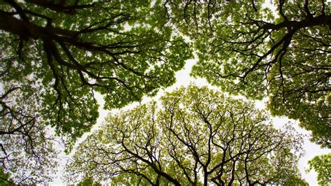 What Is A Tree Canopy Oak Tree Canopy In Roudsea Wood Cumbria 169 Chris