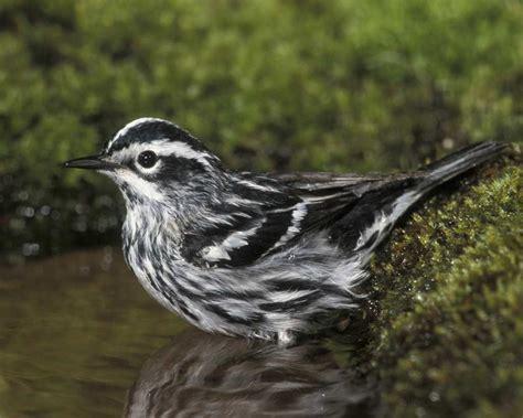 White Bird Black Bird black and white warbler audubon field guide