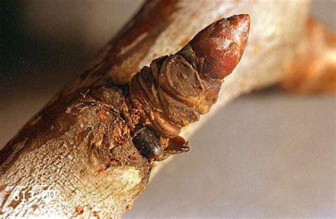 cherry tree borer cherry shothole borer pacific northwest pest management handbooks