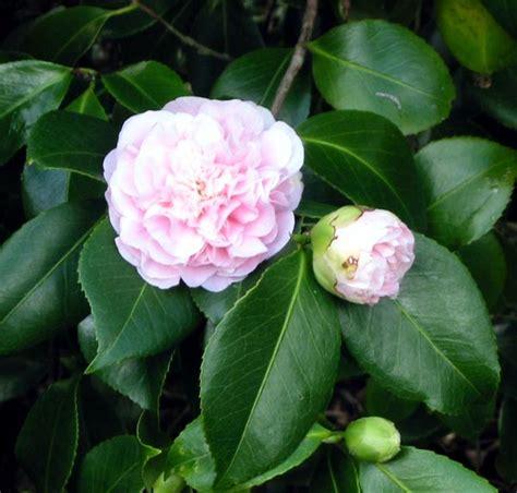 Camelia Pink camellias