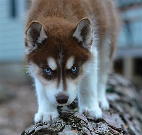 brown and white husky puppy best 25 husky puppies ideas on husky brown husky puppy and husky
