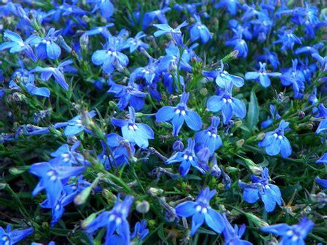 Blue Flowers by Summer Flower Blue Flowers