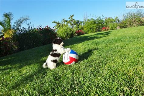 harmony havanese meet harmony a havanese puppy for sale for 995 green eyed havanese puppy