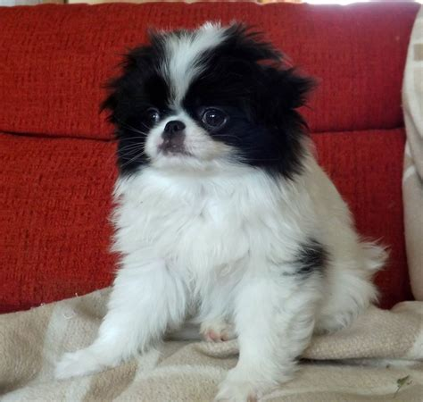 japanese chin puppies for sale japanese chin puppies for sale bicester oxfordshire pets4homes