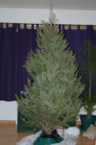 caring for a live christmas tree in your home christmas