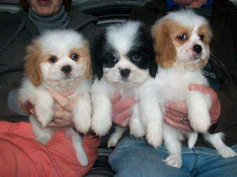 king charles shih tzu cava tzu cavalier king charles spaniel shih tzu mix temperament puppies pictures
