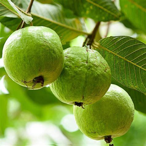 buy guava sardar  amrud grown  seeds