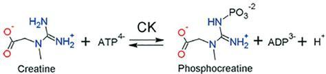 creatine kinase creatine kinase reaction software advanced chemistry