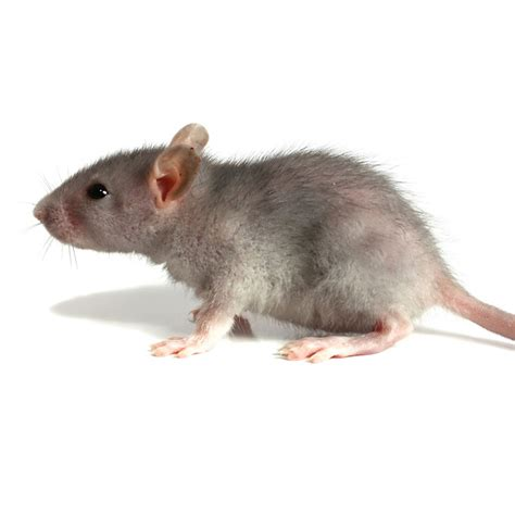rodent pest control gogreen pest control