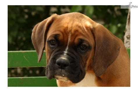 boxer puppies for sale near me boxer puppy for sale near lancaster pennsylvania 6c70a20d 6061