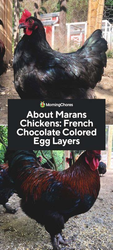 colored egg layers colored egg layers chicken breeds egg layers easter egg