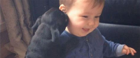 pug child baby cracks up adorable pug puppies abc news