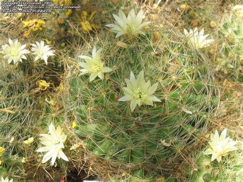 Desert Botanical Garden Gift Shop Plantfiles Pictures Mammillaria Mammillaria Anniana By Xenomorf