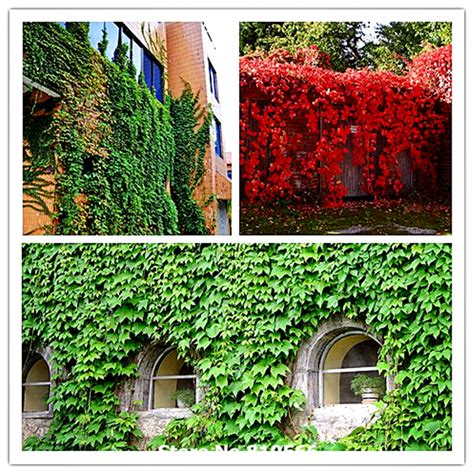 real outdoor trees 100 real green boston creeper grass seeds outdoor