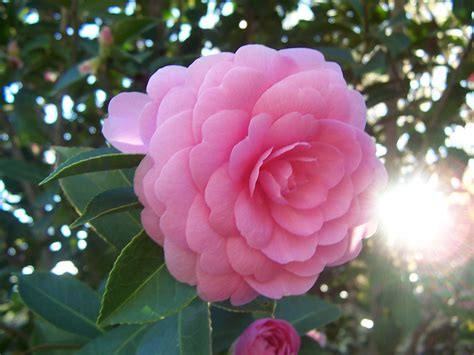file camellia japonica pink perfection jpg wikipedia