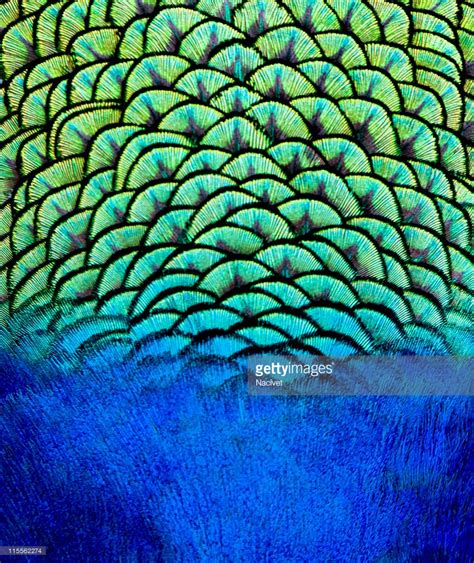 blue nature pattern pattern of peacock feathers backgrounds stock photo